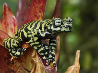 La Chachipedia: Las ranas y los sapos. Anuros