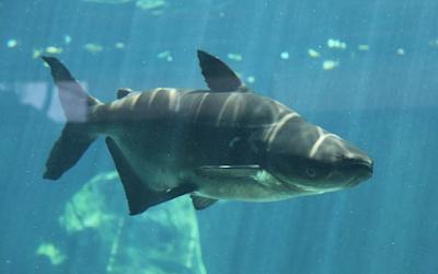 Mekong Giant Catfish ikan air tawar terbesar