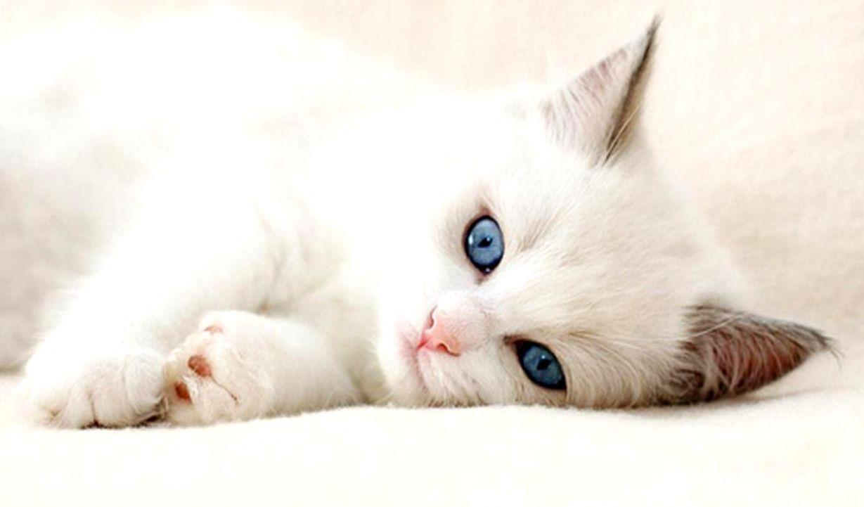 Cute Cat Wallpaper Hd Wallpapers Image