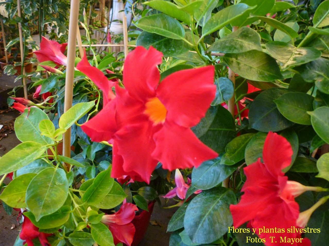 flores y plantas silvestres dipladenia sundaville. Black Bedroom Furniture Sets. Home Design Ideas