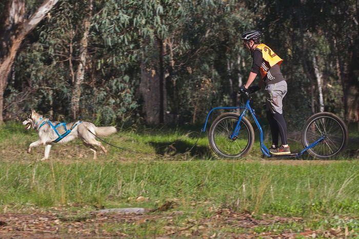 The Joys Of Dog Sledding Amp Dry Mushing Australian Dog Lover
