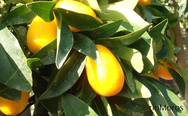 Naranjo chino, naranjo enano Fortunella margarita