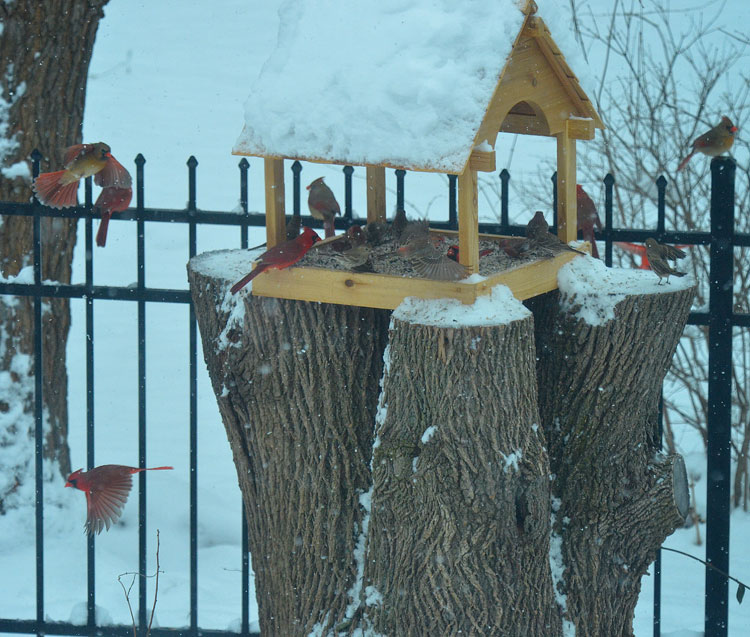 Northern Cardinals visit a cedar platform feeder covered in snow.
