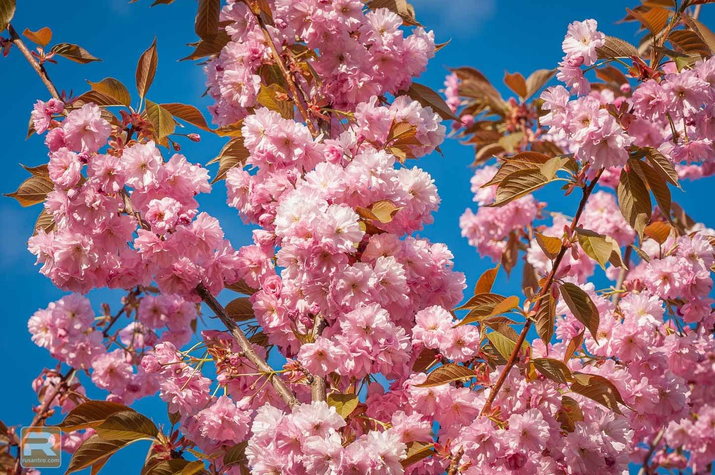 Sakuras ziedu zars 3