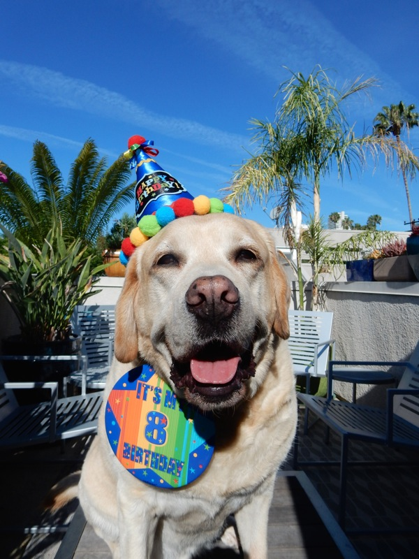 Birthday Labrador Cooper