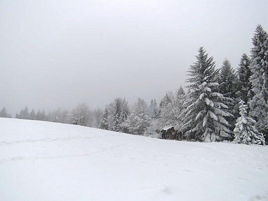 Drzewa na skraju polany Jaworz.