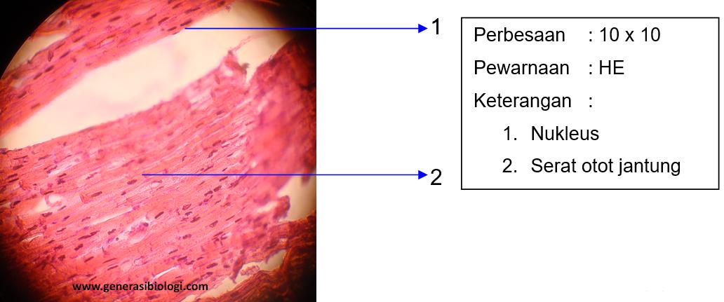 Materi Pembuatan Preparat Otot Jantung Generasi Biologi