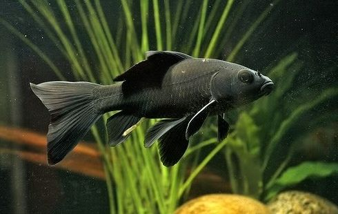 Jenis Ikan Komet Warna Hitam - Black Kometfish