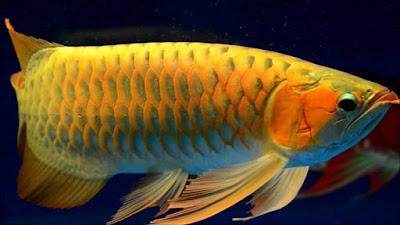 Berbagai Jenis Ikan Arwana