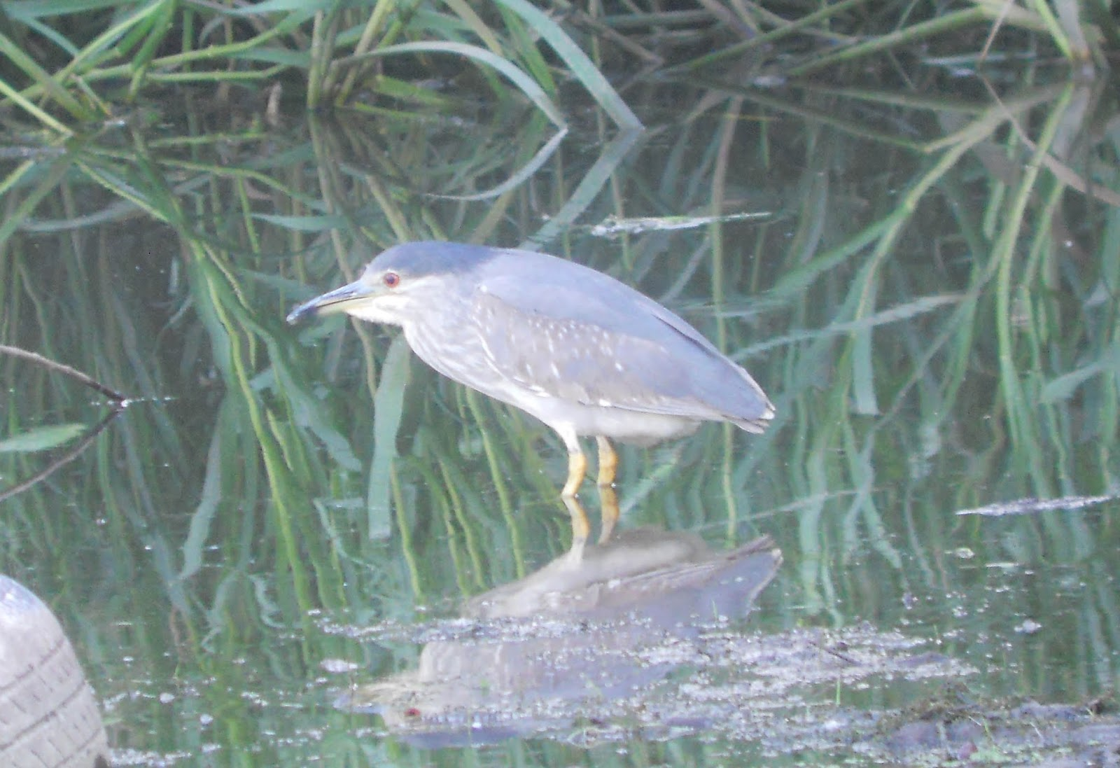 Night Heron shows well in the day! What's going on? | Birding North