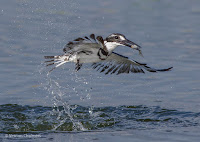 Pied Kingfisher - Birds In Flight Photography Cape Town with Canon EOS 7D Mark II  Copyright Vernon Chalmers