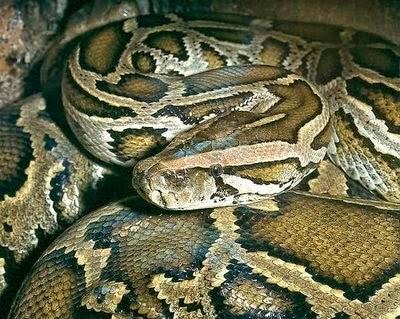 Indonesian pythons flowers ~ Animal Pics On The World