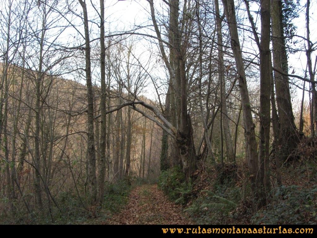 Senda de Bustavil, Tineo, PR AS-288: Bosque