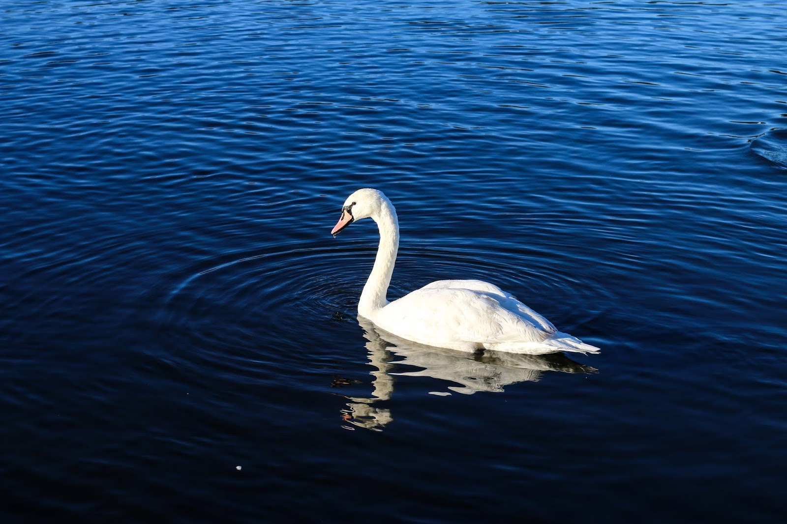 a close up of a swan swimming on broadwood loch