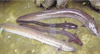 cara budidaya ikan sidat di kolam terpal,cara budidaya ikan sidat di kolam beton,cara budidaya ikan sidat di jawa timur,cara budidaya ikan sidat air tawar,cara budidaya ikan sidat di kolam,