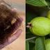 Folhas da goiabeira evitam 100% da queda do cabelo e o fazem crescer rapidamente