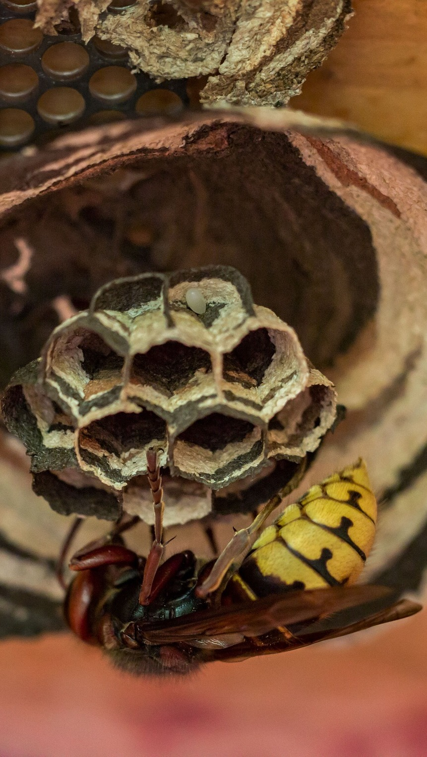 A wasp hornet building it's nest.