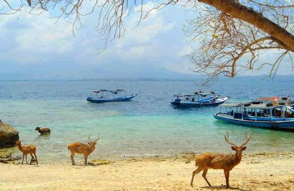 menjangan di pulau menjangan