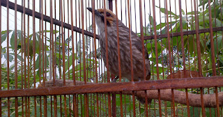 Burung Cucak Rowo Untuk Klangenan atau Hiasan- Kreteria Cucak Rowo yang Harus Terpenuhi Untuk Klangenan atau Hiasana - Penangkaran Burung Cucak Rowo