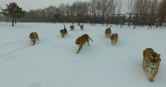 Μοναδικό βίντεο δείχνει drone να καταδιώκεται από τεράστιες τίγρεις της Σιβηρίας (video)