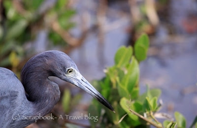 Little blue heron at Wildlife refuge Sanibel Island