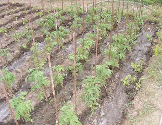 Rasad de rosii de casa plantare,