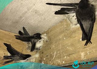 Chim yến ở trong nhà yến.