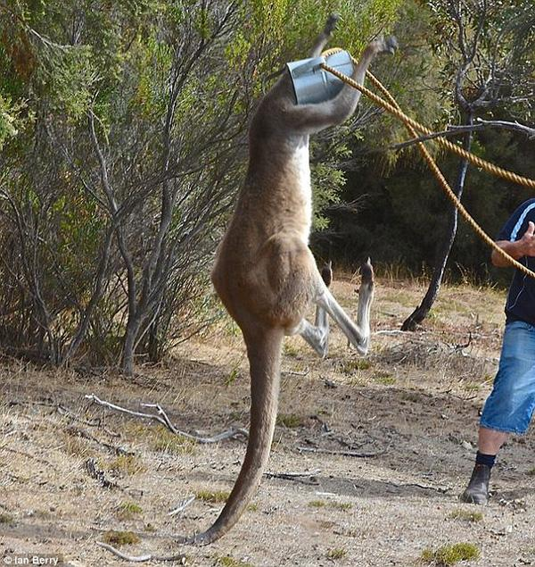 Hy hữu cảnh kangaroo bị kẹt đầu vào thùng nước