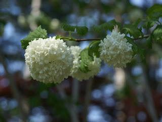 Viorne obier - Boule de neige - Viburnum opulus