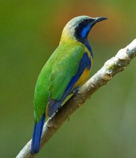 Perbedaan Akurat Burung Cucak Cungkok Jantan Dan Betina Di Lihat Dari Segi Fisik