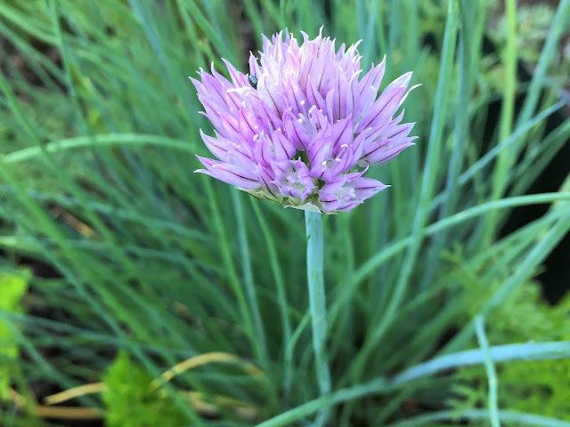 Schnittlauch blüht lila