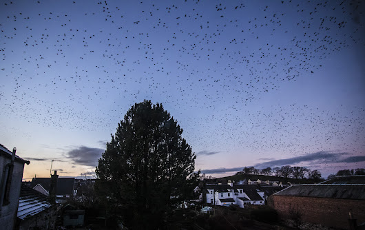 Starling Murmurations over Castle Douglas