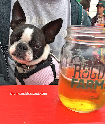Sinead the Boston terrier with a beer