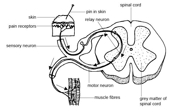 Nervous system of animals, central and peripheral nervous