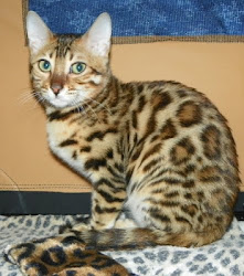 An Adore Cats Bengals Pedigreed Bengal Cat
