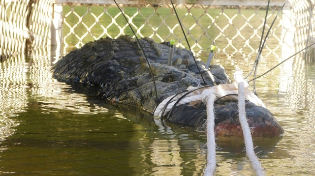 Capturan monstruoso cocodrilo en Australia
