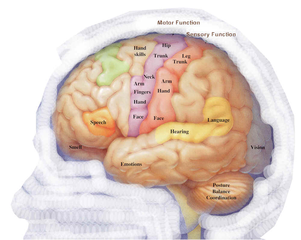 hight resolution of human brain diagram labeled