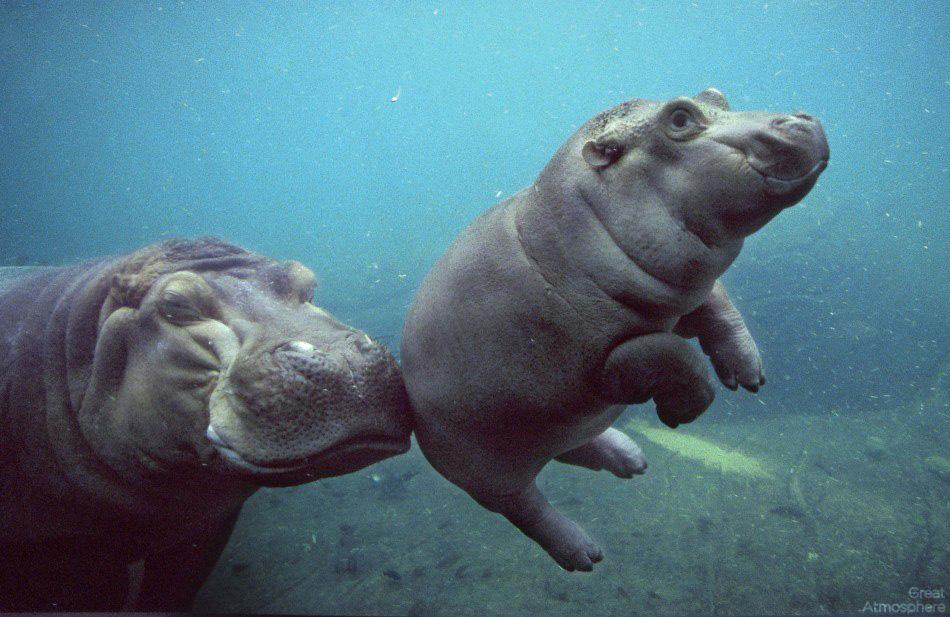 Ngắm chú hà mã bơi lội trong bể thủy sinh lớn