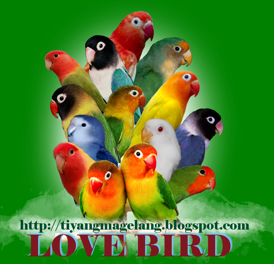 Download mp3 suara burung Lovebird