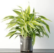 how to care for a dracaena plant