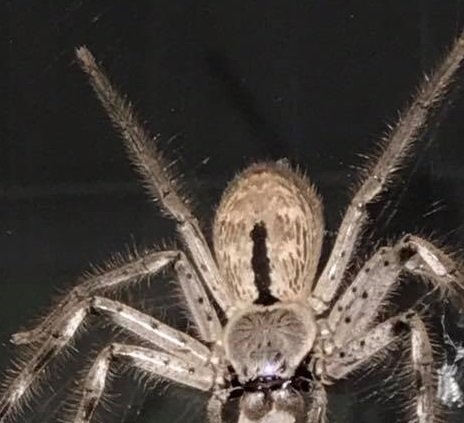¿Te atreves a mirar el impactante vídeo de la araña australiana?