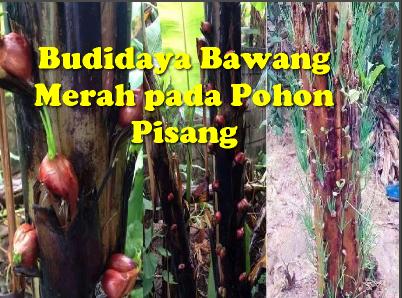 menanam bawang di pohon pisang