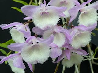 Dendrobium aphyllum - Dendrobium cucullatum - Dendrobium pierardii