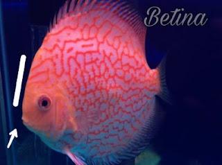 Perbedaan Antara Ikan Discus Jantan dan Betina
