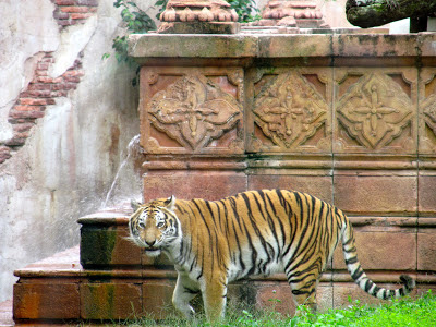 A Tiger at Animal Kingdom