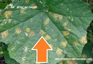 cara mengatasi penyakit bercak daun tanaman semangka