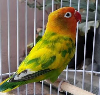 lovebird gs, lovebird blorok hijau
