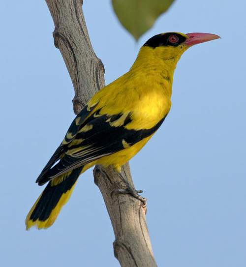 Birds of India - Image of Slender-billed oriole - Oriolus chinensis