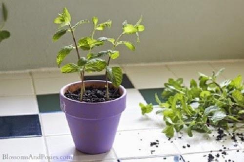 Bước 4 cách trồng cây bạc hà