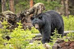 A 16 year old teenager mauled to death by Bear
